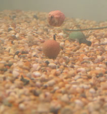 Underwater photo of one up one down rig with boilies