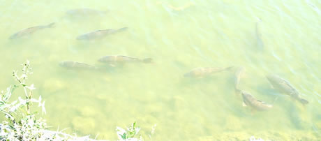 Carp cruising the surface of a lake